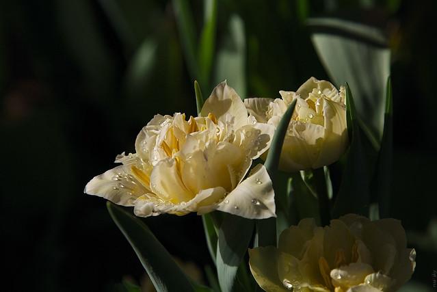 RUS46057(Cream-colored Tulips)