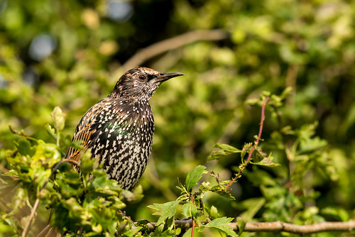 Starling | by www.craigrogers.photography