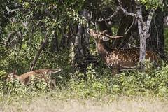 Deer and light