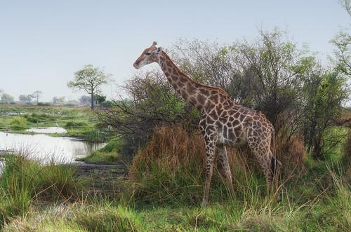 Giraffe   by brainstorm1984