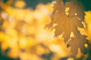 Yellow Leaves | by DavioTheOne