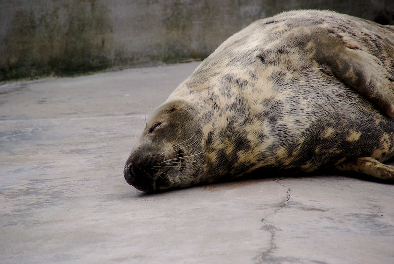 Asleep seal