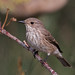 Spotted Flycatcher - Photo (c) Ximo Galarza, some rights reserved (CC BY-NC-SA)