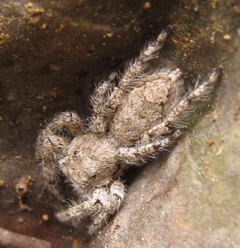 arachnida araneae ecuador gray jorupe loja richhoyer salticidae spider urracalodge
