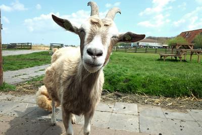 Smile goat
