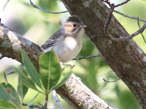 Clay-colored Sparrow 02-20161117
