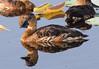 Wandering Whistling Ducks (Dendrocygna arcuata) by Geoff Whalan