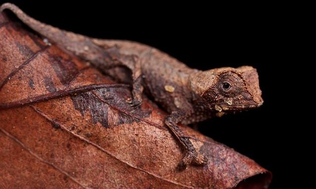 Ground chameleon (Brookesia decaryi)