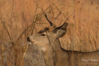 Mule Deer buck marking a bush | by TonysTakes