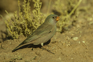 Trumpeter Finch - Morocco_07_2921