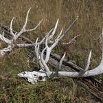 Bull Elk skulls