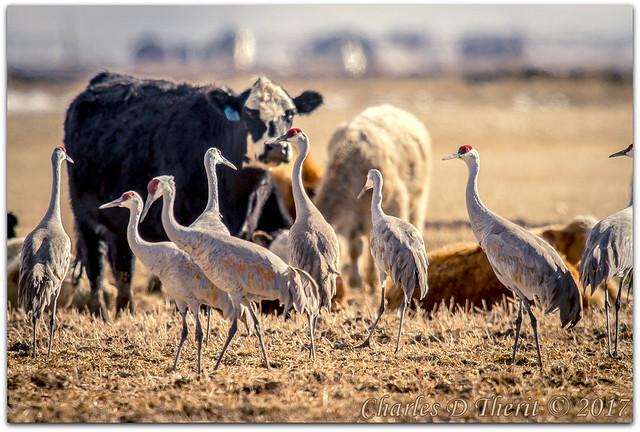 Cranes and Cows