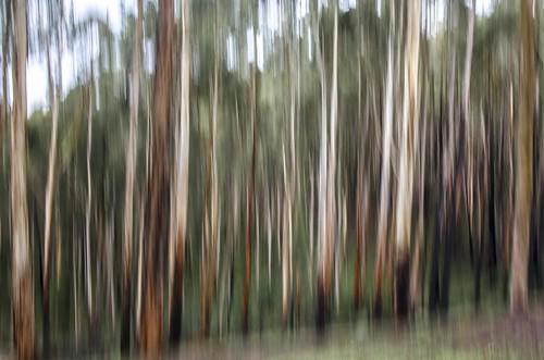 trees winter forest landscape bush nikon australia melbourne victoria burn burnt bark vic pan trunks icm eucalypts dandenongs dandenongranges blackened kalorama gumtrees dandenongrangesnationalpark thedandenongs intentionalcameramovement d5100 nikond5100 phunnyfotos