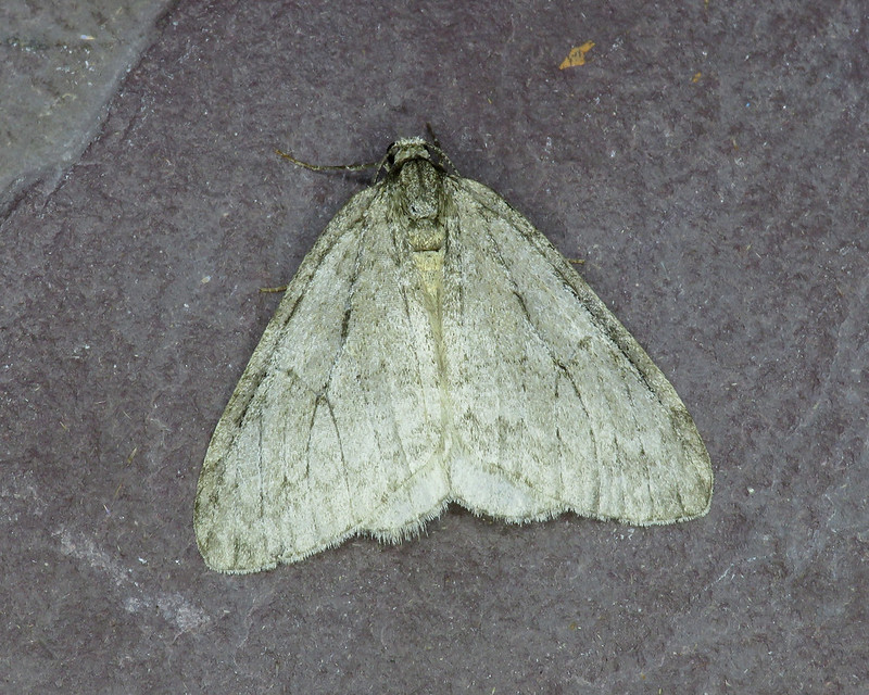 70.107x November Moth Epirrita - dilutata agg.