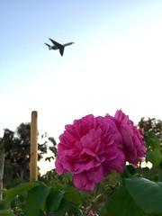 San Jose Roses