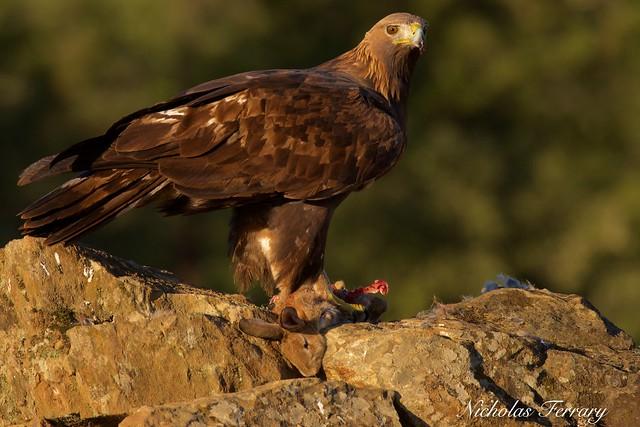 Golden Eagle Stare