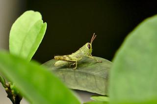 Baby Grasshopper | by kaeru.my