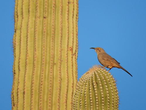 Lost Dutchman State Park - bird