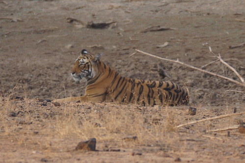 Tiger at Ranthambore National Park - DSC03949 | by JULIAN MASON