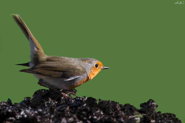 Pisco-de-peito-ruivo, European robin(Erithacus rubecula) - em Liberdade  [WildLife]