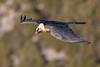 Gypaète barbu - Gypaetus barbatus (El Mirador Los Buitres, Espagne) by ÇhяḯṧtÖρнε