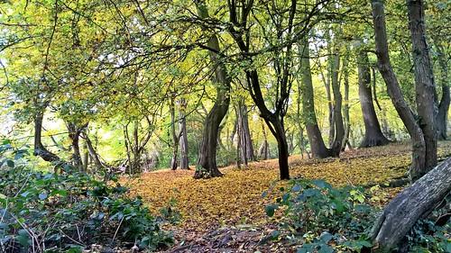 autumn hornbeam leaves bentleypriory stanmore uk nikond7100