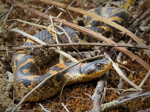 Eastern Hognose Snake | by Justin Lee (NoNameKey)