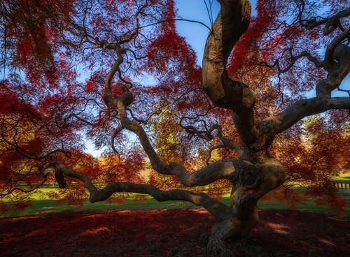 tree autumn princeton japanesemaple landscape marquandpark fall red newjersey unitedstates us