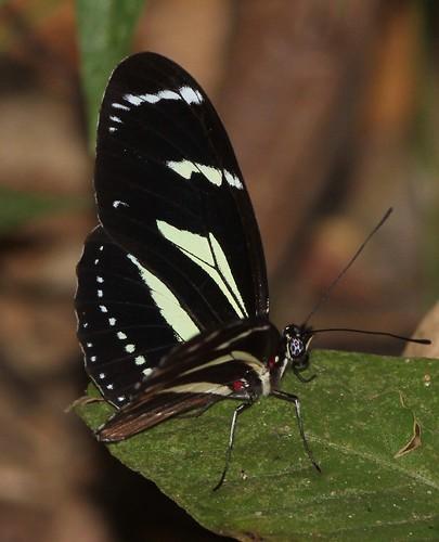 butterfly ecuador heliconiinae heliconiini jorupe loja nymphalidae richhoyer urracalodge