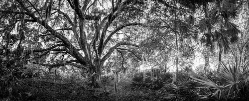 morning light panorama sun sunlight color tree green alva nature horizontal forest landscape outdoors oak day unitedstates natural florida branches large nobody foliage liveoak hammock spanishmoss northamerica branching sawpalmetto quercusvirginiana serenoarepens telegraphcreekpreserve