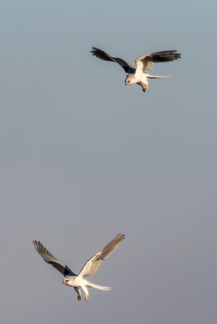 territorial dispute between two White-tailed Kites.