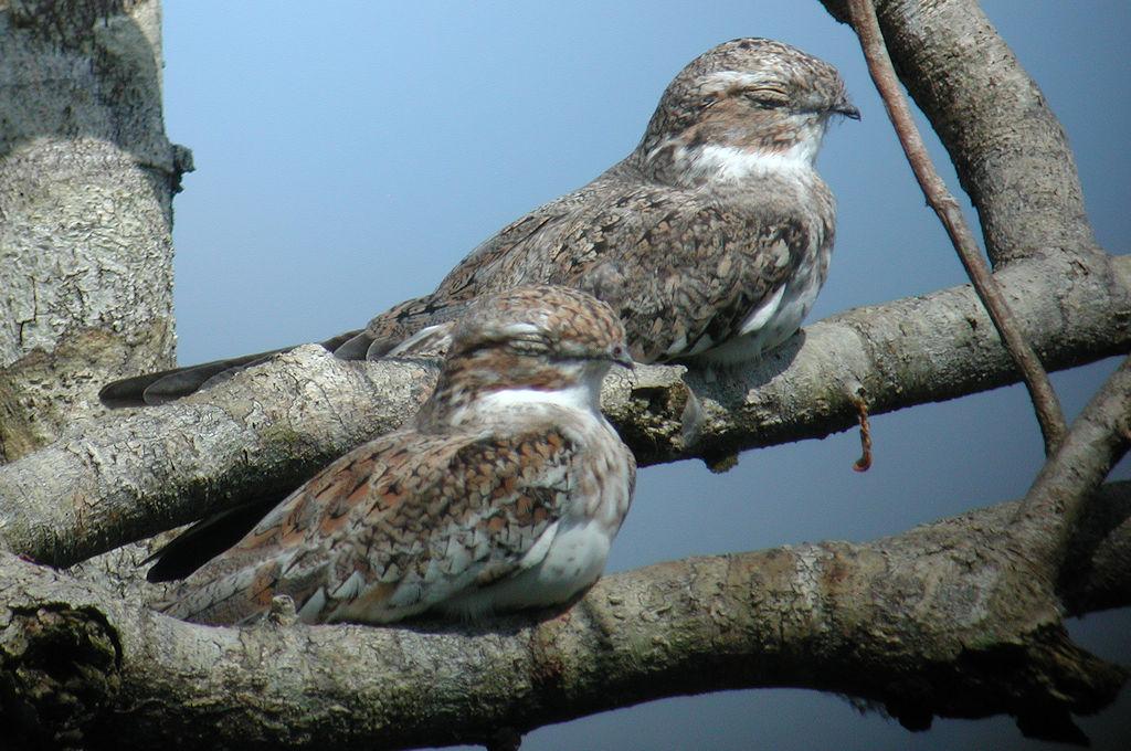 Sand-colored Nighthawk - Chordeiles rupestris - Sucumbíos, Ecuador - February 23, 2004