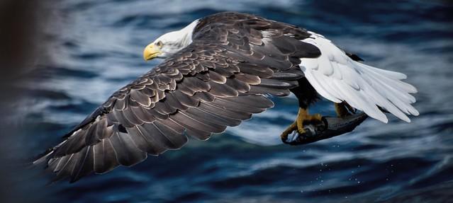 Pygargue à tête blanche --- Bald eagle --- águila calva