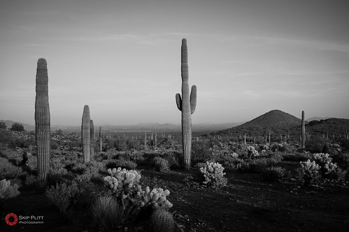 arizona cactus blackandwhite bw phoenix monochrome cacti desert sony saguaro carnegieagigantea rx100 southwesternlandscape sonydscrx100 phoenixsonorandesertpreserve skipplittphotography