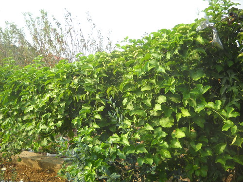 Passion Fruit Plant growing over 3m long Fruiting well a Oct 18, 2015 | by toutberryfarms