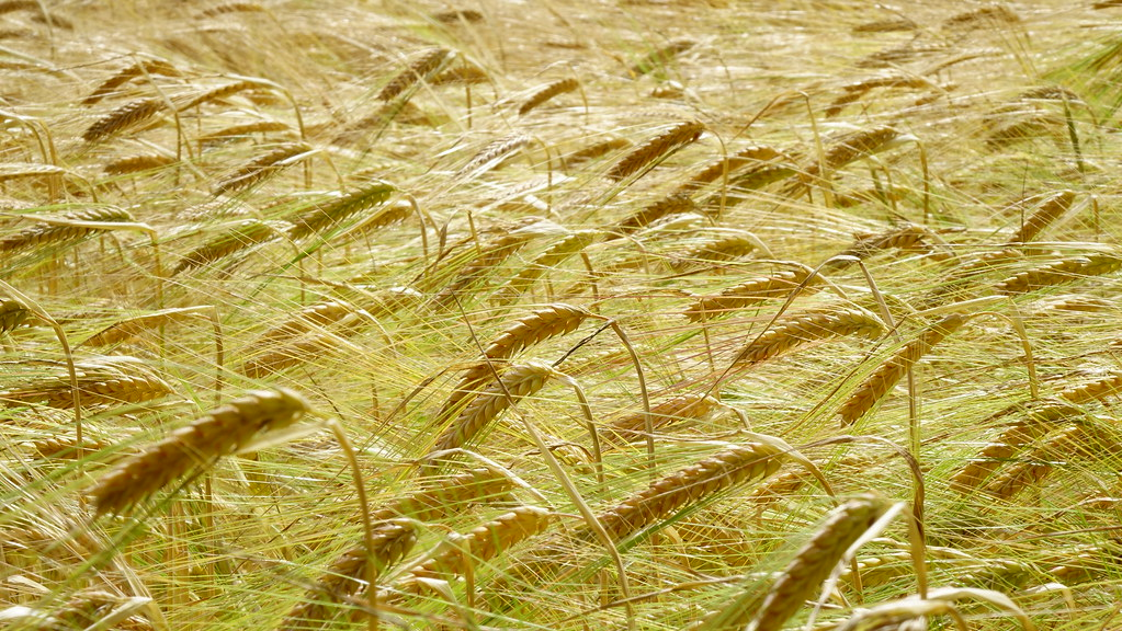 Golden wheat lying by the wind