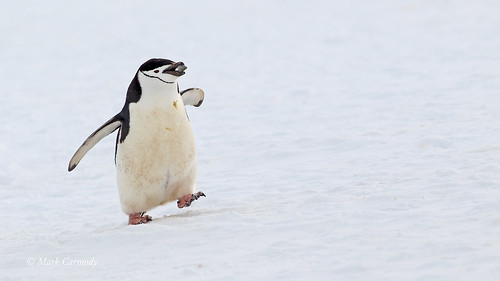 Chinstrap Penguin (Pygoscelis antarctica) | by Mark Carmody