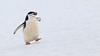 Chinstrap Penguin (Pygoscelis antarctica) by Mark Carmody
