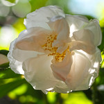 Rose, Madame Georges Bruant, バラ, マダム ジョルジュ ブリアン,