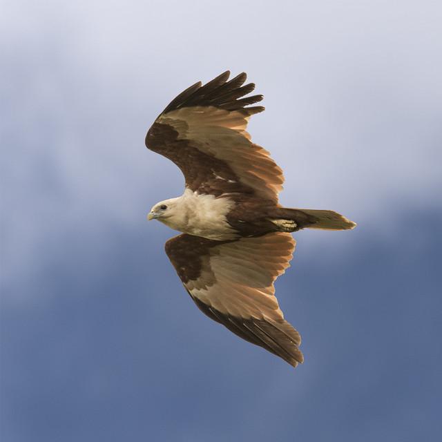 a brahminy kite
