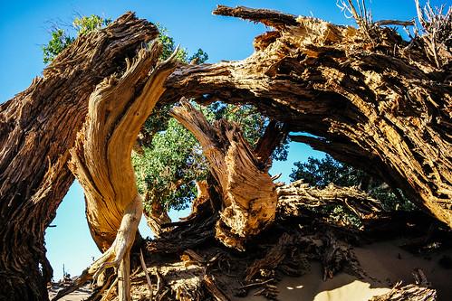 Diversiform-leaved poplar