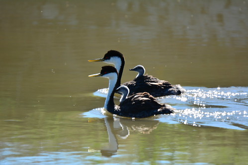 Western Grebes Have Baby Races Too | by USFWS Mountain Prairie