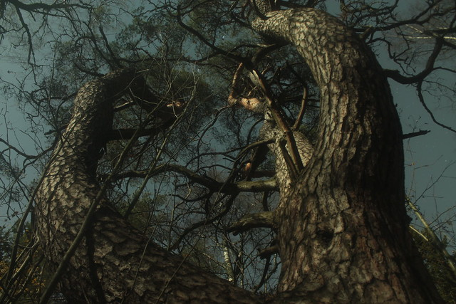 Wanha mänty - Old Pine