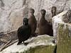 Shag & chicks (Phalacrocorax aristotelis), Isle of May NNR by Niall Corbet