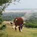 A cow blowing smoke out of its ass - Wittenham Clumps, Oxfordshire