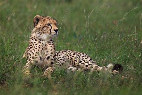Cheetah on Alert
