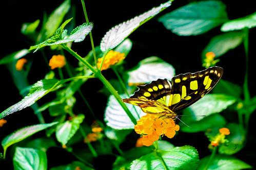 The Malachite butterfly (Siproeta stelenes) | by www.ziggywellens.com