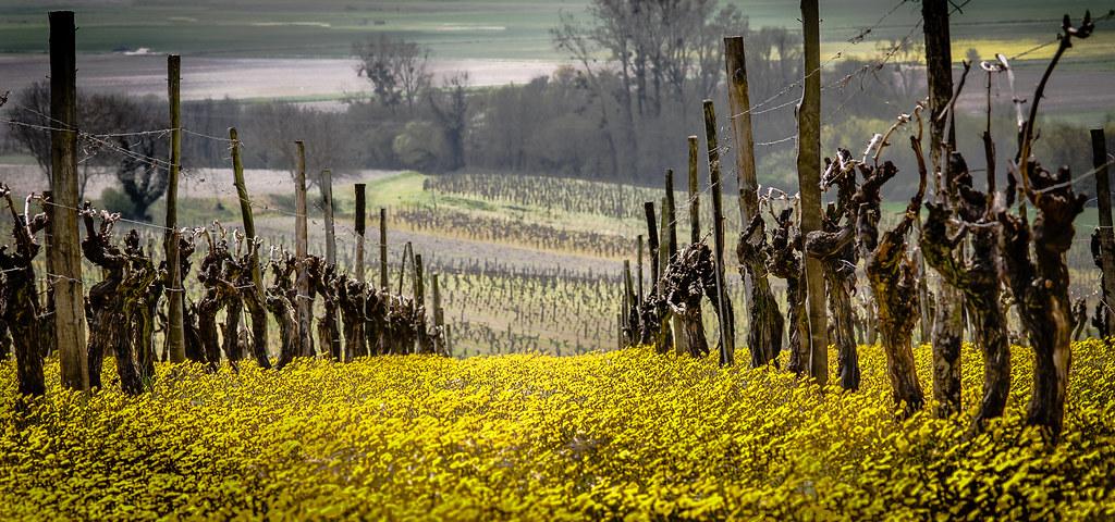 Spring in the Gironde Vinyards