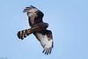 Black Harrier (Circus maurus) by Brendon White