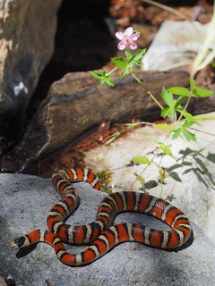 Sonoran Mountain Kingsnake (Lampropeltis pyromelana) | by NicholasHess